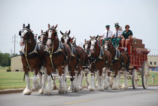 Anheuser-Busch_Clydesdales