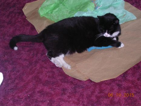 Pinky playing on papers with toy fish June 2015