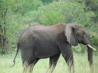 Elephant on the Serengetti