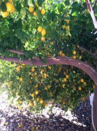 broken lemon tree branch