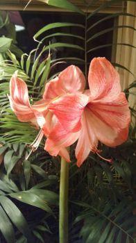 Helen's Pink Amaryllis
