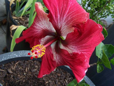 Giant Hibiscus flower on tiny tree in a pot