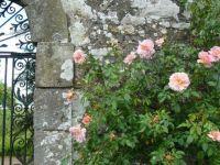 Daves Rose in Kinross-House, Schottland