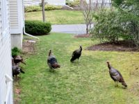 Wild turkey at my house this morning