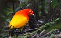 Flame Bowerbird at his bower by Markus Lilje