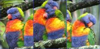 Lorikeet pair grooming in the rain this morning.