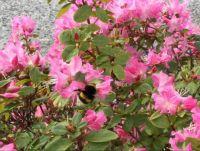 Bumblebee - Scottish Highlands