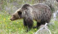 P1180115 Grizzly bear enjoying a dandelion treat near Radium, BC May 17, 2020