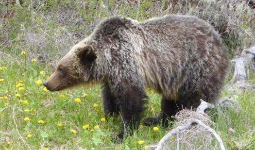 P1180115 Grizzly bear enjoying a dandelion treat near Radium, BC May 17, 2020