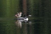 A Pair of Common Loons Adopted a Lucky Goldeneye Duckling