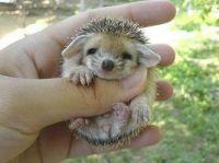 Baby Porcupine #1