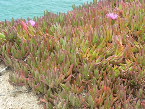 succulents on the beach