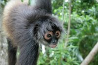 Juvenile female spider monkey