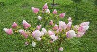hortenzie (Hydrangea paniculata Vanille fraise)