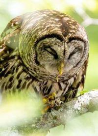 Barred Owl eating crawfish for dinner - 2