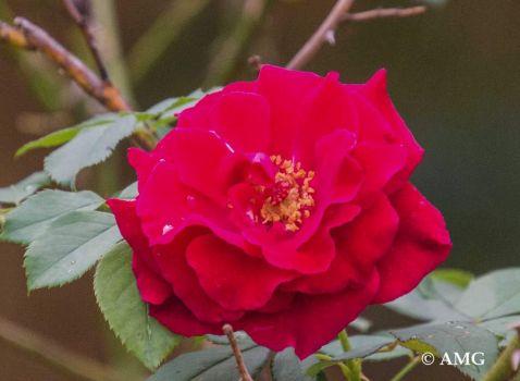 Pinocchio Rose