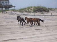 Horses_North_Carolina