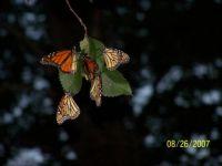 monarchs on an elm tree