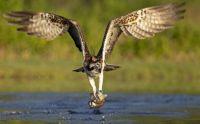 Osprey goes hunting