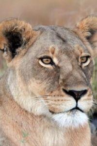 LION IMG_8906