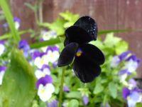 black pansie