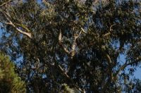 Pine trees and eucalyptus