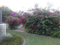My Bougainvillea are still blooming happily.  1