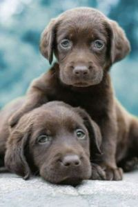 Chocolate lab puppies...so cute and beautiful