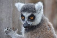 Lemur: Look Into My Eyes...
