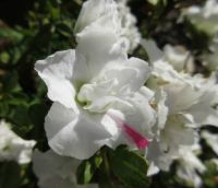 White Azalea with a pink accent ☺