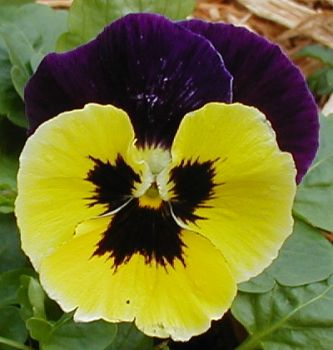 Purple Yellow Pansy