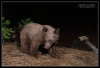 Black Bear cubs on camera trap