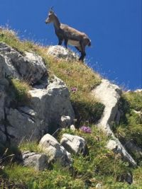 Chamois in the Sky