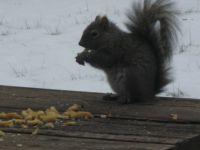 My Friendly Squirrel Having Breakfast