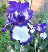 Bearded Iris ~ deep purple & white     LARGE