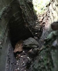 Kröte im Baum