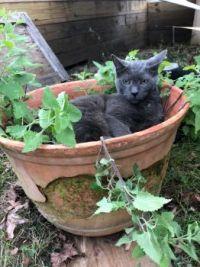 Punkin enjoying a bed of catnip