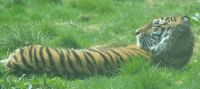 RecliningTiger enjoying the sun....Highland Wildlife Park