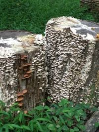 Two Stumps