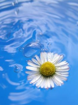 A single daisy in the water