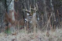 Coosawattee Buck