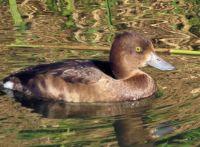 female tufted duck (kuifeendvrouwtje)