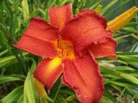 American Indian Dayliliy
