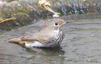 Hermit Thrush at the bird bath