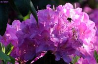Rhododendron and Hungry bee