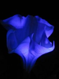 Blue Moonflower