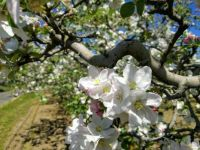 It's apple blossom time again!