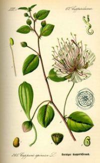 Caper bush illustration