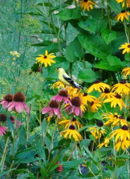 Goldfinch in the echinacea (large)