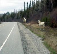 An even more rare sight, two albino moose in one picture...